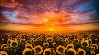 sunset sky cloud field with sunflower hd desktop