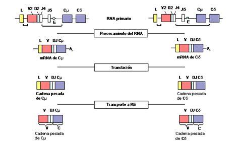 cadenas ligeras in english hipermutaci 243 n som 225 tica de inmunoglobulina hipermutaci 243 n