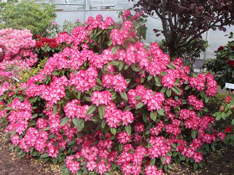 Rhododendron Flachwurzler by Rhododendron Eruption S Rhododendron Hybride