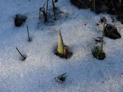 Salju Anti Bisa by Luar Biasa Tanaman Anti Beku Di Tengah Haran Salju