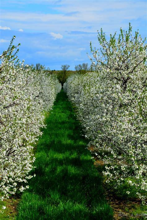 solid cherry crop expected in door county door county pulse