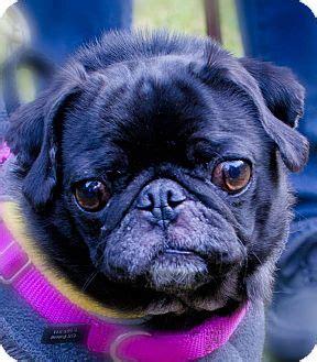 pug rescue washington state seattle c o kingston 98346 washington state wa pug meet echo a for adoption