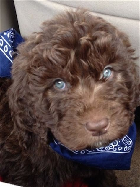 newfoundland poodle mix puppies newfypoo breed information and pictures