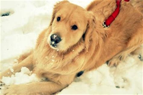 golden retriever biting aggressive biting behavior in golden retrievers breeds picture