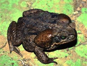 are frogs poisonous to dogs poisonous bufo toad menaces expanding areas experts ny daily news