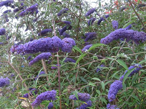 perfume project nw the butterfly bush problem