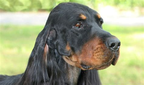 setter dog gordon gordon setter breed information
