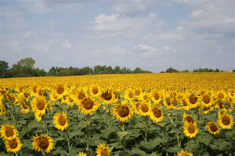 sunflowers in kansas the best moments the sunflower farm