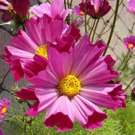 cosmos fiore semi rari fiori semi antichi fiori