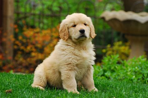 is a golden retriever a c 243 mo adiestrar a un golden retriever