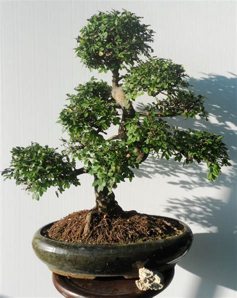 piante bonsai da interno bonsai da interno