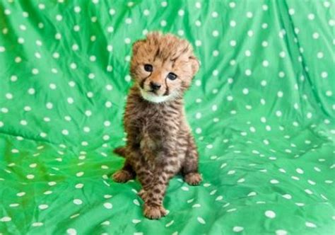baby cheetah cub to become part of busch gardens cheetah hand rearing a cheetah cub zooborns
