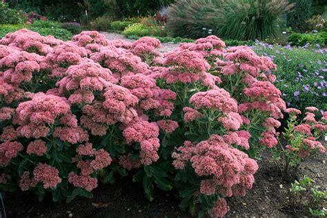 Low Light Plants by Victoria Gardens September Blooms Sedum