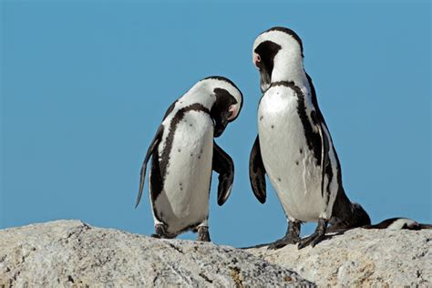 Penguins in Cape Town: 2 places you can see them when you ...