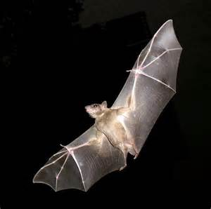 Bat wings inspire flying robot design micro air vehicles may
