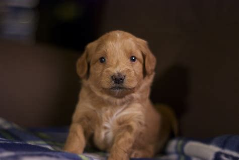 goldendoodle puppy week by week seattle mini goldendoodle puppies 4 weeks pups by