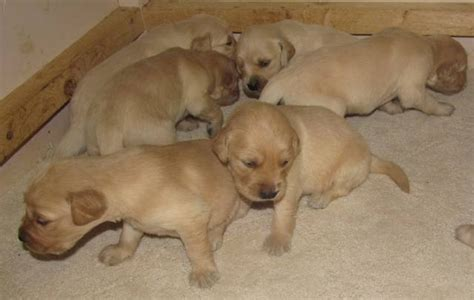 golden retriever puppies for sale toronto ckc reg d golden retriever puppies for sale adoption from georgetown ontario toronto
