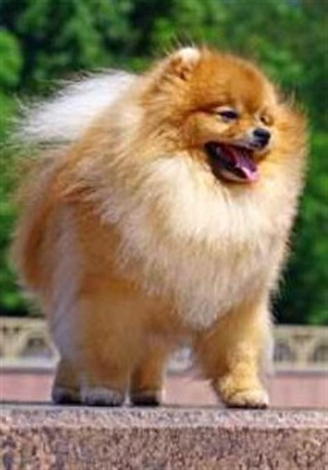pomeranian puppies that look like teddy bears teddy poms pomeranian information center