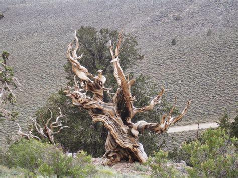 bristlecone pine tree california mystic your daily tree ancient bristlecone pine forest california