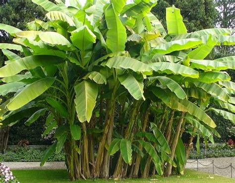 Biggest Online Plants Store by Growing Your Own Banana Tree Or Banana Plant