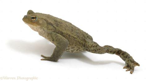 Toad walking photo WP09582