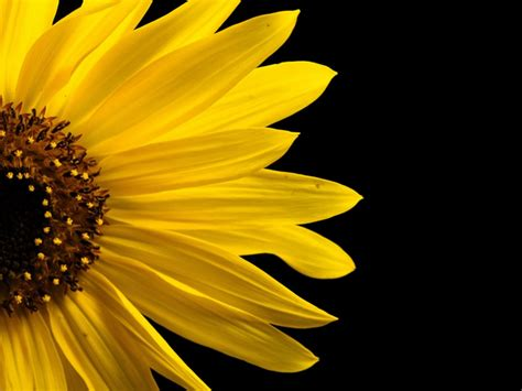 free detailed macro images and stock photos freeimages free sunflower macro stock photo freeimages