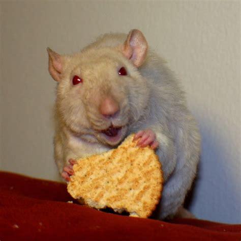 Would You Eat A Rat by Rat A Cracker By Eatcakedrinkblood On Deviantart