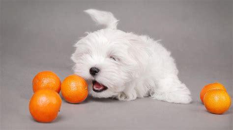 dogs eat oranges can dogs eat oranges grapefruit and lemons barking royalty