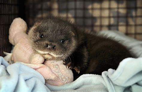 otter pup separated from his family finds a new home the