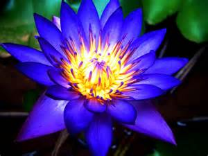Blue Lotus Blue Lotus Archives Gifts From Earth