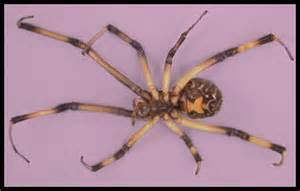 black widow california map discovered in 2003 brown widow spiders in southern