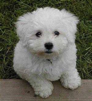 pictures of poodle puppies bichon poo bichon poodle mix info puppies pictures temperament