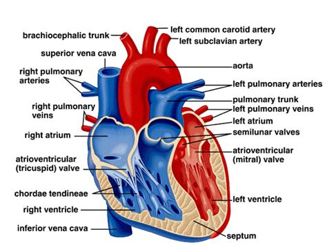 cross section of the heart labelled structure of the heart labelled parts of the