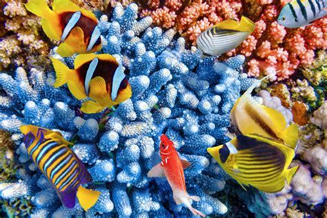 Algae Detox Royal Caribbean by Caribbean Coral Reef Study Reveals Symbiotic Relationship