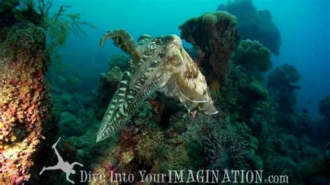 Cuttlefish Mating - The Queen of Camouflage - Cephalopods ...