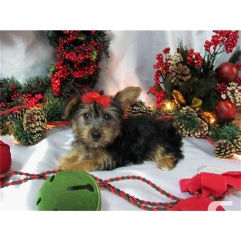 yorkie puppies for sale alberta 147 best teacup yorkie for sale images on teacup puppies puppy store and