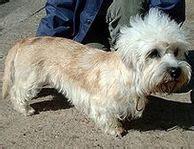 dandie dinmont terrier puppies for sale dandie dinmont terrier puppies for sale dandie dinmont terrier breeders