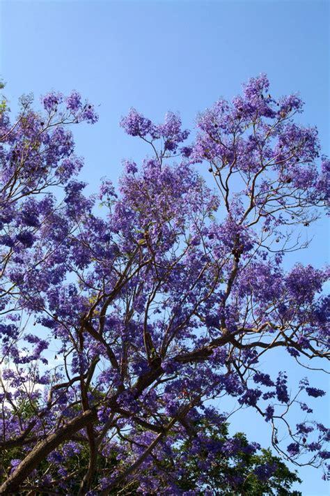 purple flower tree by tonywpt