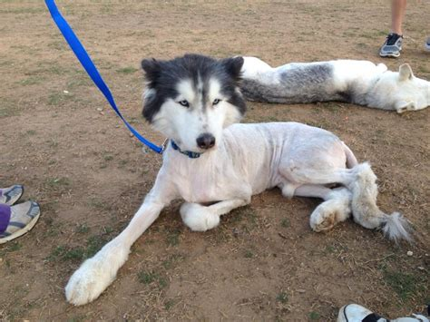 bobblehead husky grooming my in nc