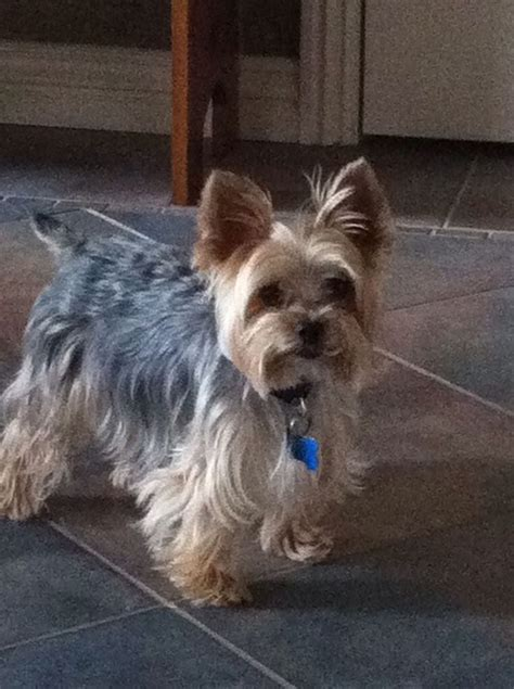 silkie terrier hair cuts 11 best yorkies images on pinterest yorkies small dogs