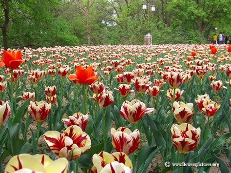 tulip flower garden tulip pictures tulip flower pictures