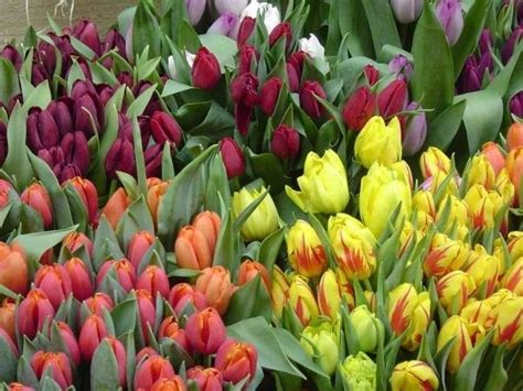significato dei fiori tulipani tulipano fiore significato fiori le caratteristiche