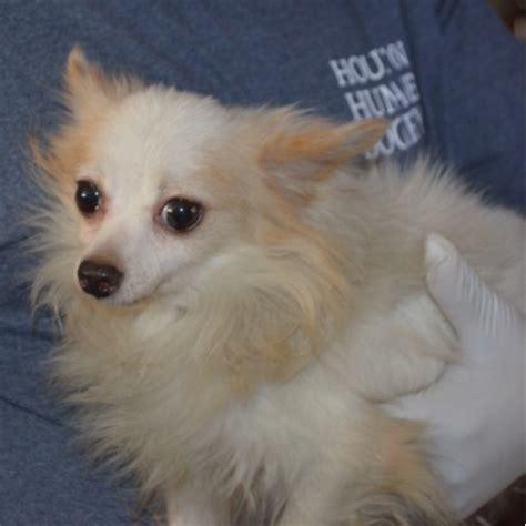 houston puppy adoption houston humane society pet rescue pet adoption autos post