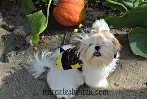 when do shih tzu puppies open their shih tzu grooming tips shih tzu magazine september 2016