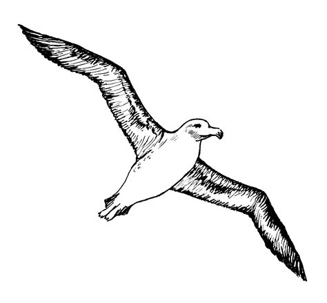drawings of a sea bird clipart best file albatross 003 png the work of god s children