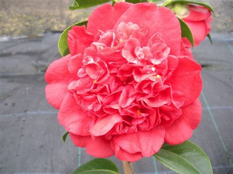 camellia japonica jazz mm pot shade variety dawsons