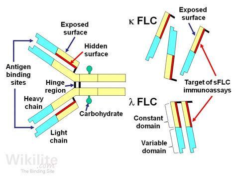 free light chain assay freelite assay overview wikilite
