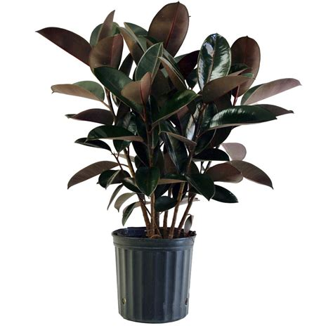inhouse plants delray plants burgundy rubber plant in 8 75 in pot 10burg the home depot