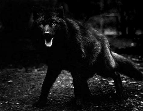 black wolf out of the dark download hd wallpapers and free