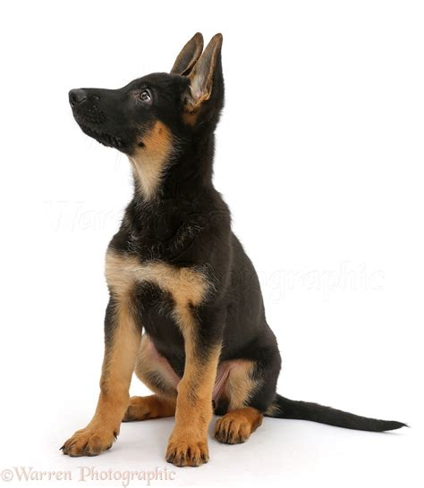 puppy up alsatian puppy looking up photo wp41383
